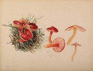 Beatrix Potter - Beatrix Potter: reproductive system of Hygrocybe coccinea, 1897.