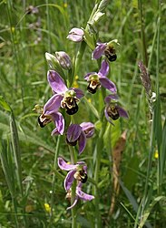 Bee orchids, Aller Brook Local Nature Reserve - geograph.org.uk - 833516.jpg
