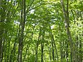 Beech trees in Mt. Iwagomori.jpg