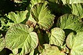Begonia Boomer 7zz.jpg