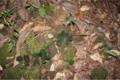 Begonia blancii02.png