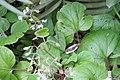 Begonia paleata 2zz.jpg