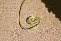 Benincasa pruriens in Guangfeng 2012.10.27 12-57-17.jpg