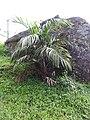 Bentinckia condapanna-1-upper kothaiyar-tirunelveli-India.jpg