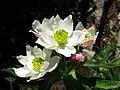 Berghähnlein (Anemone narcissiflora) Blüten nah.jpg