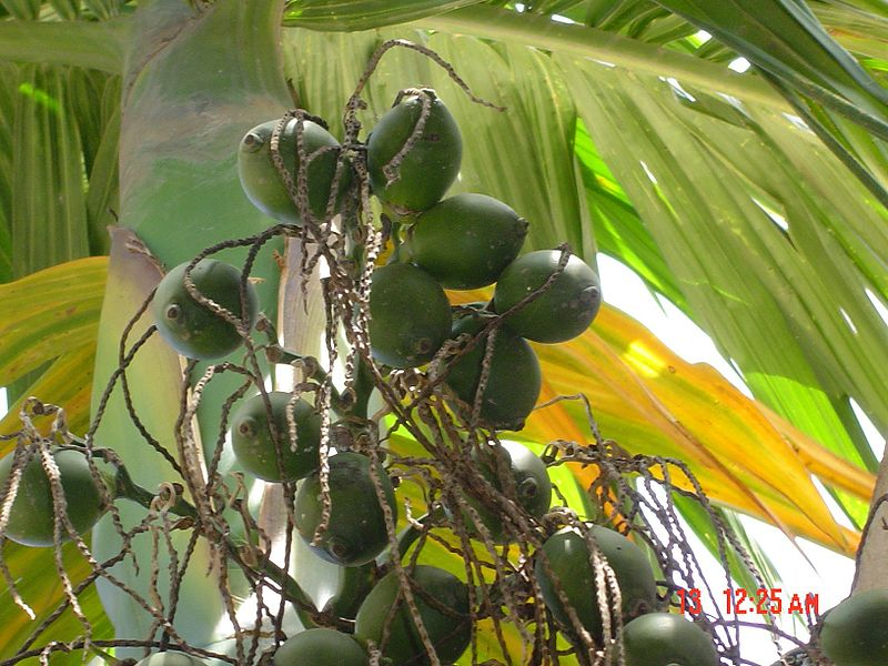 চিত্র:Betel nuts (from bottom).jpg