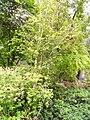 Betula ermanii - University of California Botanical Garden - DSC08894.JPG