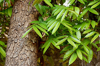 <i>Swietenia macrophylla</i> Species of plant