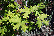 Bigtooth Maple Leaves.jpg