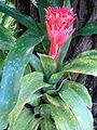 Billbergia pyramidalis concolor HabitusInflorescence BotGardBln1006.JPG