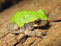 Bird-voiced Treefrog (Hyla avivoca) - Flickr - GregTheBusker (2).jpg