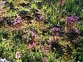 Bird Beak lousewort along Lakes Trail. (c0514e1eca47439d99d5adcf37b6ec81).JPG