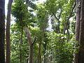 Bischofia javanica inBonin Islands1.jpg