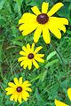 Black-Eyed Susan (1047429238).jpg