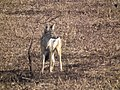 Black-backed Jackal Canis mesomelas in Tanzania 2760 Nevit.jpg