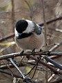 Black-capped Chickadee (Poecile atricapillus) - Mississauga 01.jpg