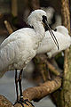 Black-faced Spoonbill (6849003603).jpg
