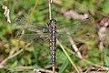 Black-tailed skimmer (Orthetrum cancellatum) female Belgium.jpg