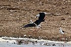 Black-winged stilts (Himantopus himantopus) fighting.jpg