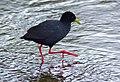 Black Crake (Amaurornis flavirostra) (11668920894).jpg