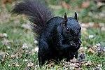 Black Squirrel (34710237204).jpg