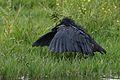 Black heron, Egretta ardesiaca, at Marievale Nature Reserve, Gauteng, South Africa (30243510745).jpg