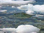 Black ice growler upernavik 2007-07-07.jpg