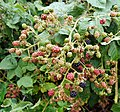 Blackberries in Swansea.jpg