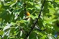Blackburnian Warbler (7235561024).jpg