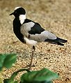 Blacksmith Lapwing.jpg