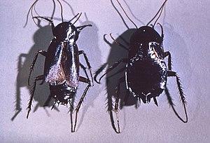 Gemeine Kuchenschabe Wikipedia