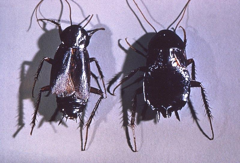 Ficheiro:Blatta orientalis cdc 2.jpg