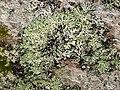 Blattflechte Menegazzia terebrata OhWeh-001.jpg