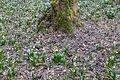 Bledule jarní v PR Králova zahrada 11.jpg