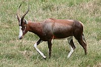 Blesbok at NC zoo.jpg