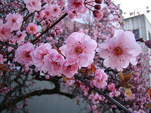 Prunus × blireana - Image: Blireiana Plum Cutler closeup
