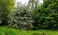 Bloeiende meidoorn (Crataegus). Locatie, Natuurterrein De Famberhorst 01.jpg