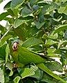 Blue-crowned Parakeet (Aratinga acuticaudata) (29233156131).jpg
