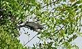 Blue-faced Malkoha-Phaenicophaeus viridirostris.JPG