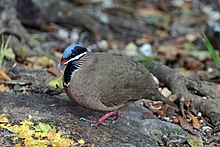 Blue-headed quail dove (Starnoenas cyanocephala).JPG