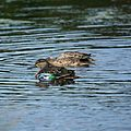 Blue-winged Teal (5005068389).jpg