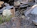 Blue Rock Thrush (Monticola solitarius) (27137530944).jpg