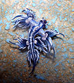 Blue dragon-glaucus atlanticus (15933467033).jpg