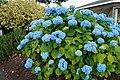 Blue flowers - panoramio (1).jpg
