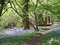 Bluebells by the path - panoramio.jpg