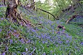 Bluebells on the earthworks at Castle Ditches - geograph.org.uk - 416660.jpg