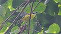 Boat-billed Flycatcher (Megarynchus pitangua) (5783757500).jpg