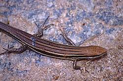 Boettger's Mabuya (Trachylepis boettgeri) (9657276138).jpg