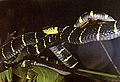 Boiga dendrophila annectens (13106584943).jpg