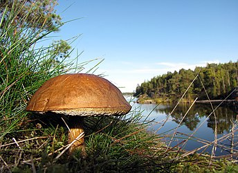 Boletus in Finnish forest.jpg